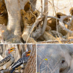 Safari in Botswana – Das Moremi Game Reserve