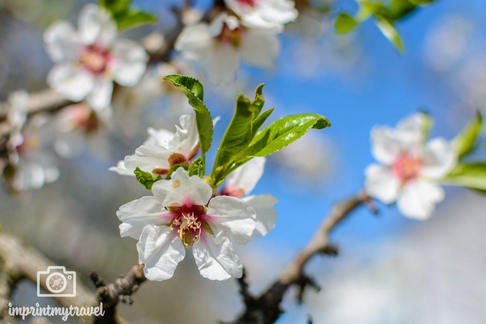 Ausflugsziel Wachau Marillenblüte