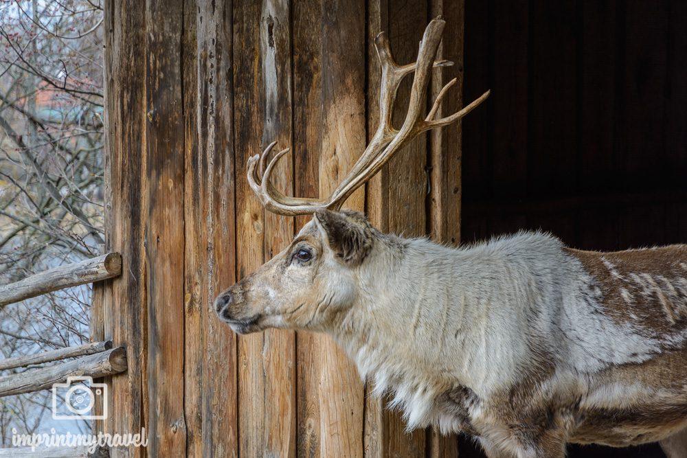 Stockholm Sehenswürdigkeit Skansen Tierpark
