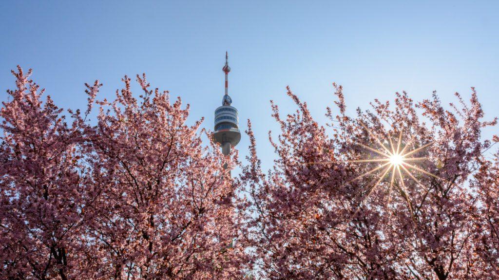Kirschblüte in Wien Titel