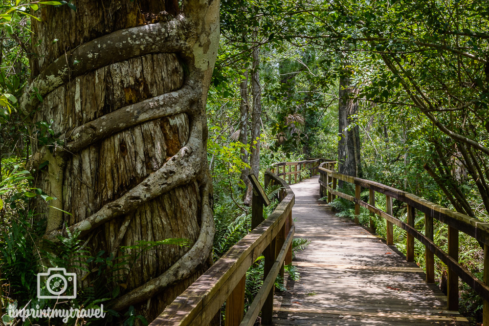 Big Cypress Bend Boardwalk Fakahatchee Strand State Preserve