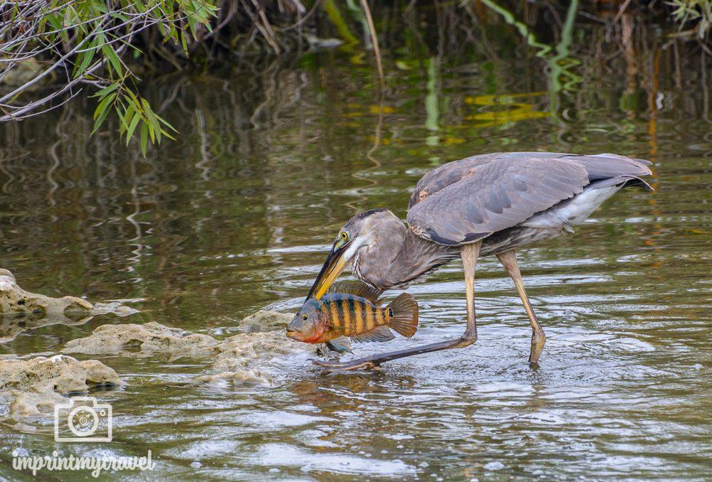 Reiher mit Fisch im Everglades Nationalpark