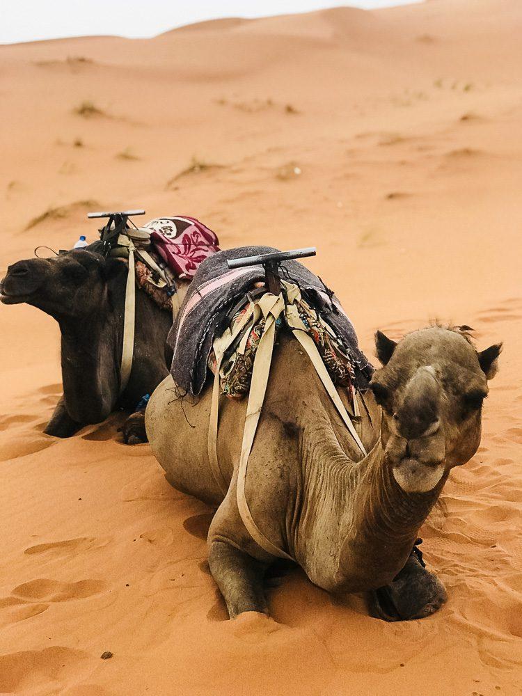 Kamele Marokko