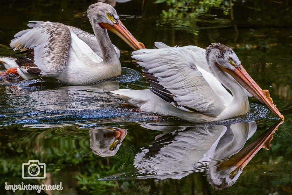 Pelikane Ellie Schiller Homosassa State Park