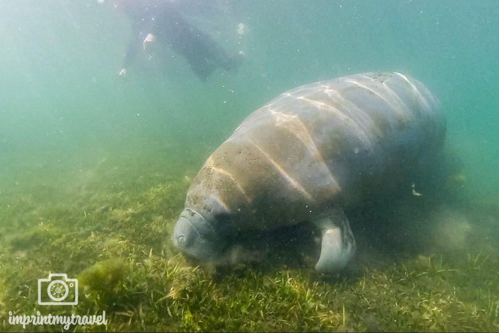 Schwimmen mit Manatees Crystal River, Florida
