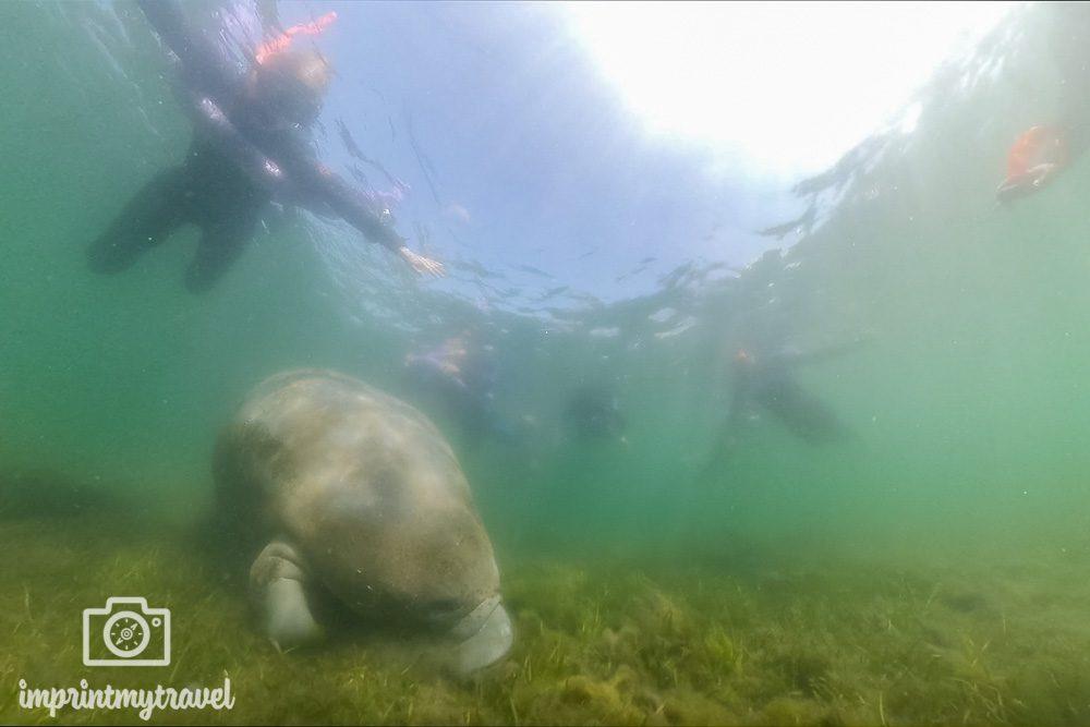 Schwimmen mit Manatees in Florida