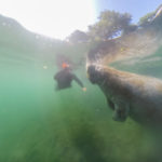 Schwimmen mit Manatees in Crystal River, Florida