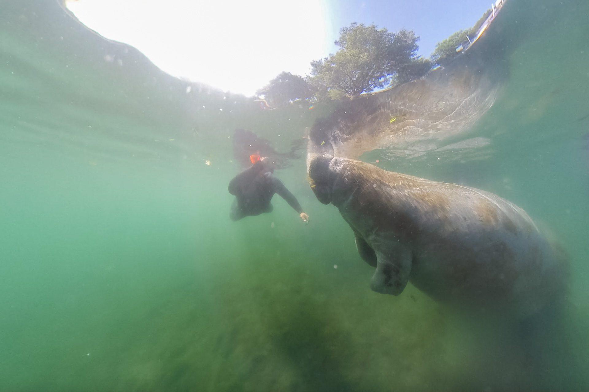 Schwimmen mit Manatees Florida
