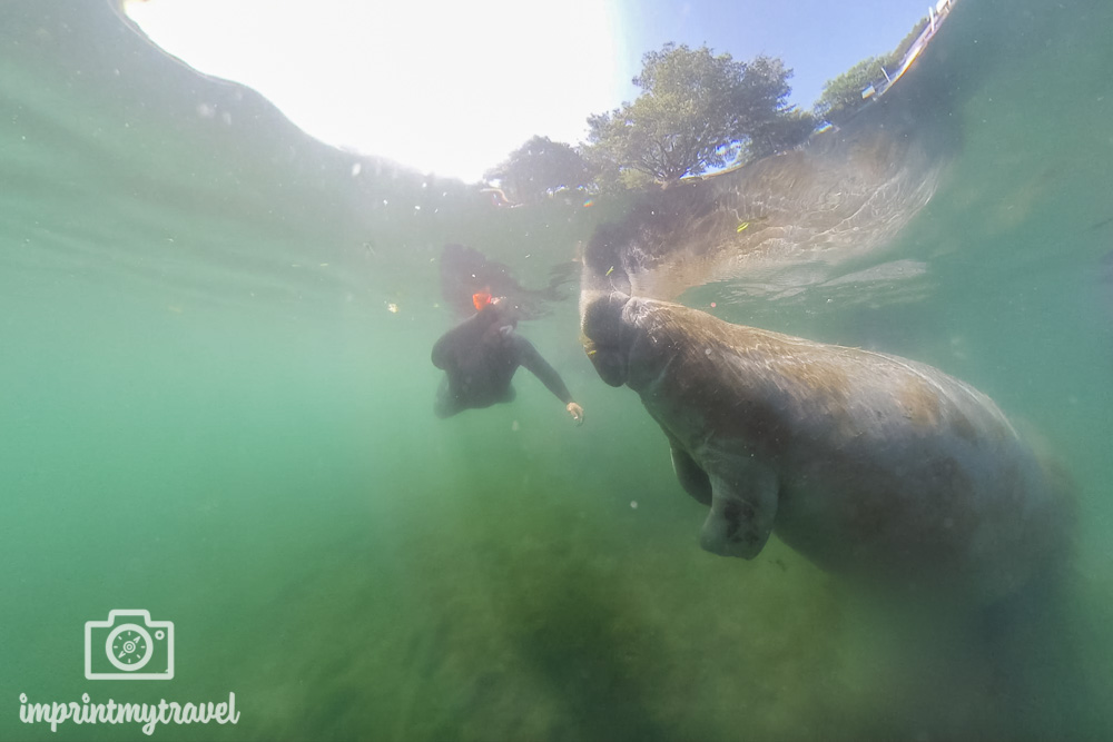 Begegnung mit den Manatees in Crystal River