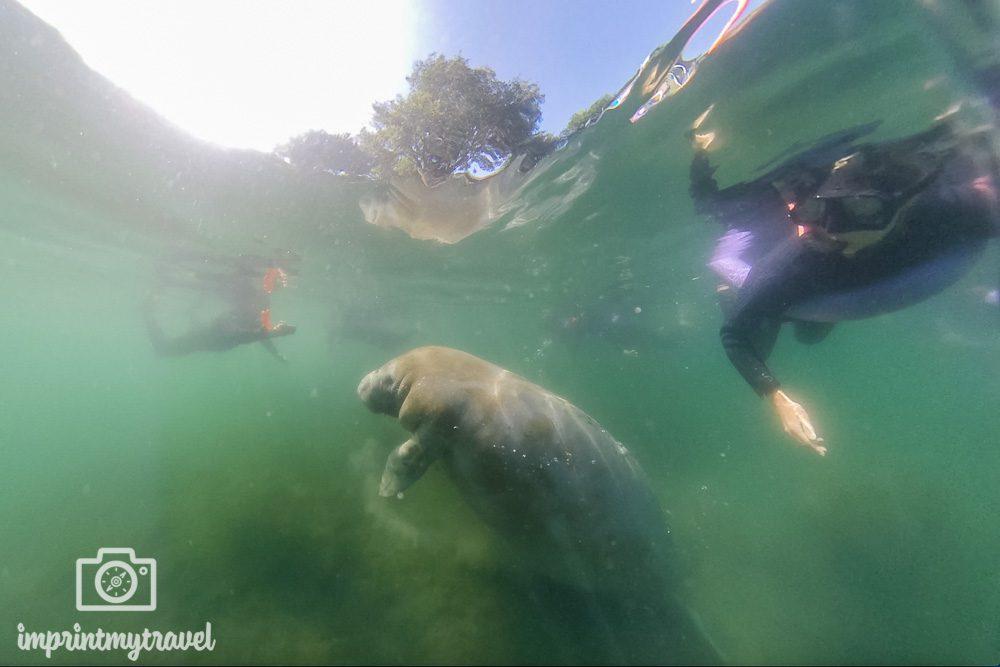 Schwimmen mit Seekühen in Crystal River