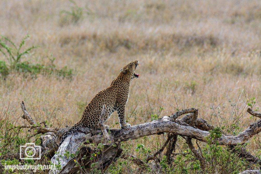 Fotoreise Serengeti Leopard