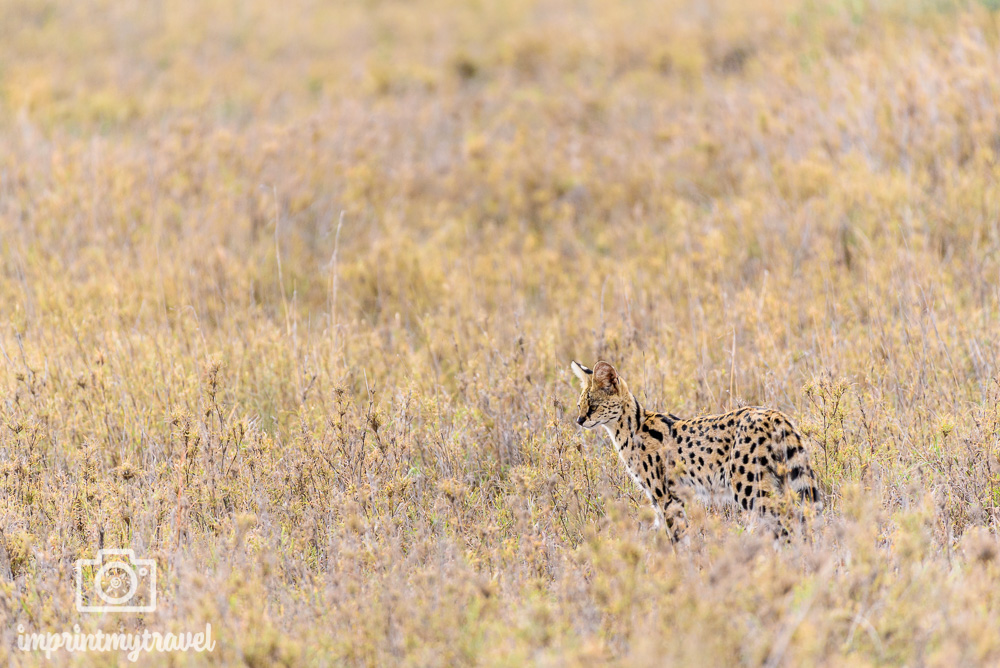Serengeti Nationalpark Serval