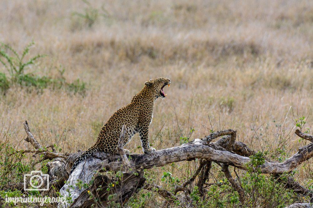 Tansania Nationalparks Serengeti Leopard