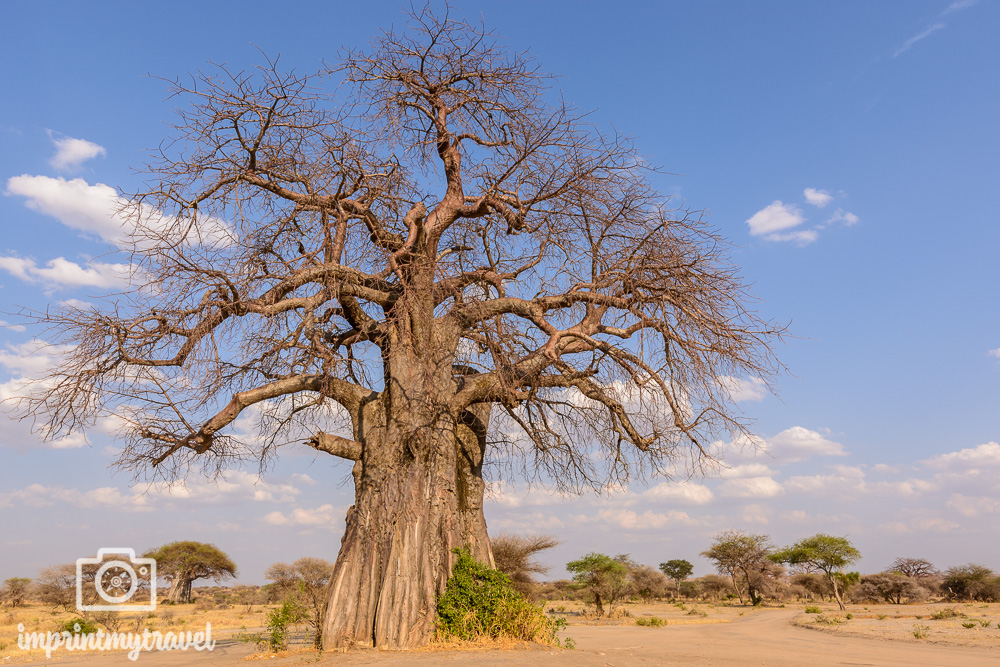Tarangire Nationalpark Baobab