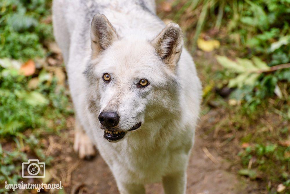 Auflugstipp Ernstbrunn Wolf Science Center