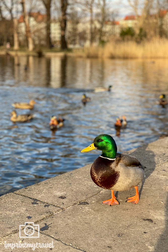 Tierfotografie mit dem Smartphone Enten