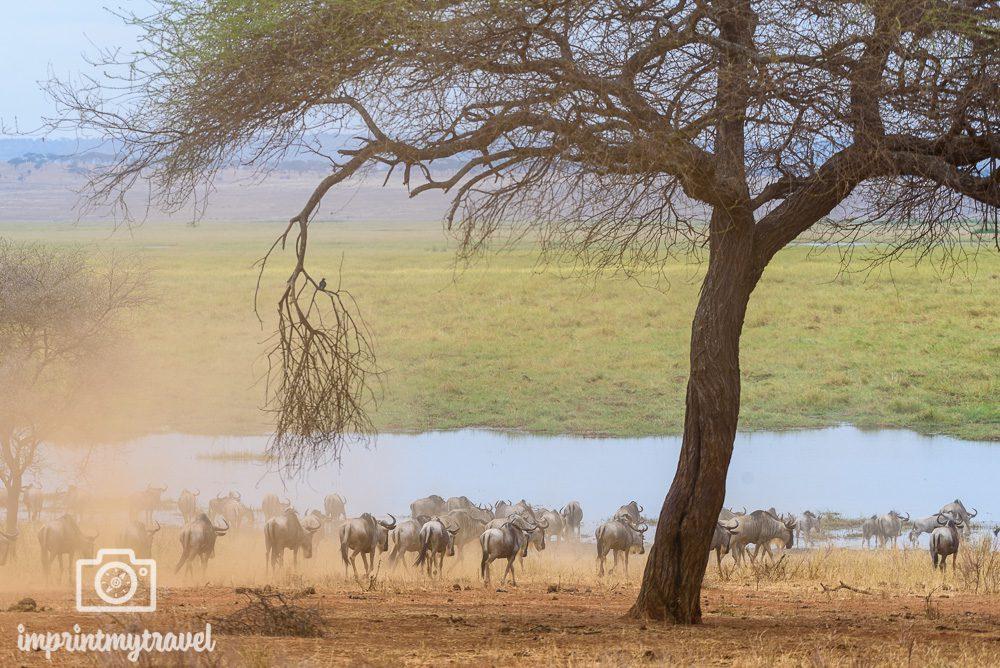 Tansania Safari Tipps Reisezeit Gnuwanderung