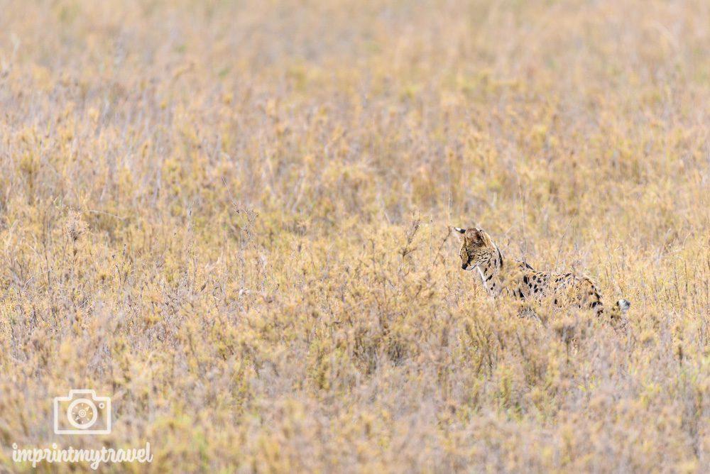 Wildtierfotografie Serval