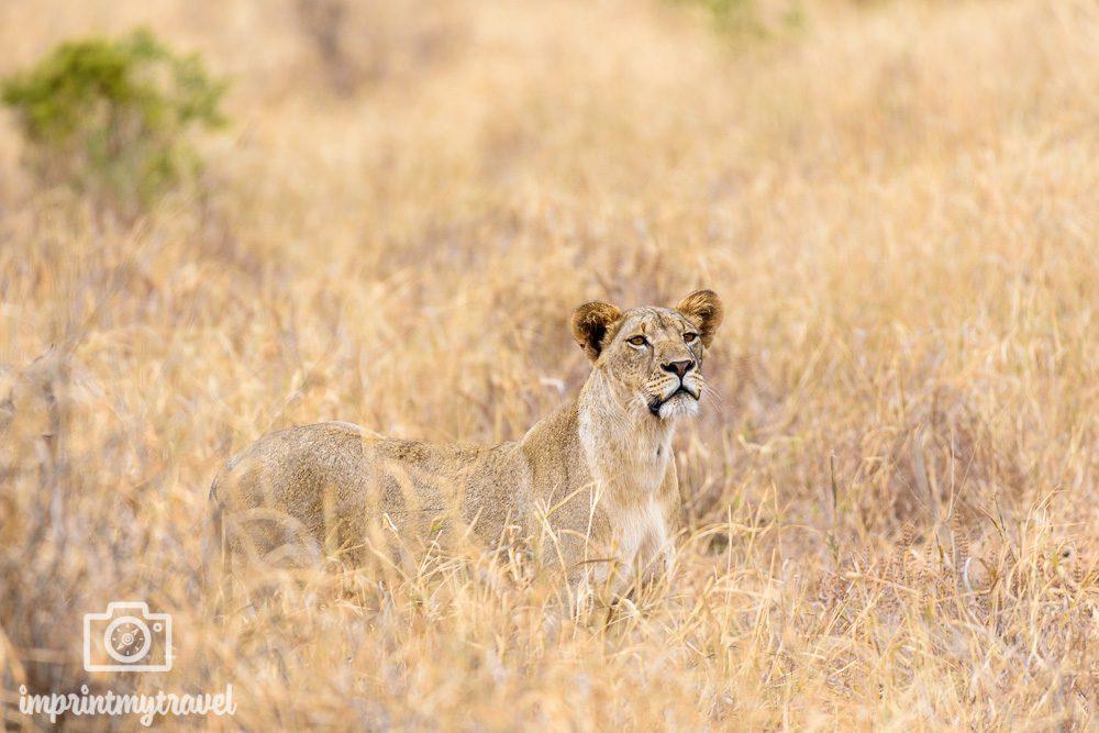 Fotoreise Tansania Löwin