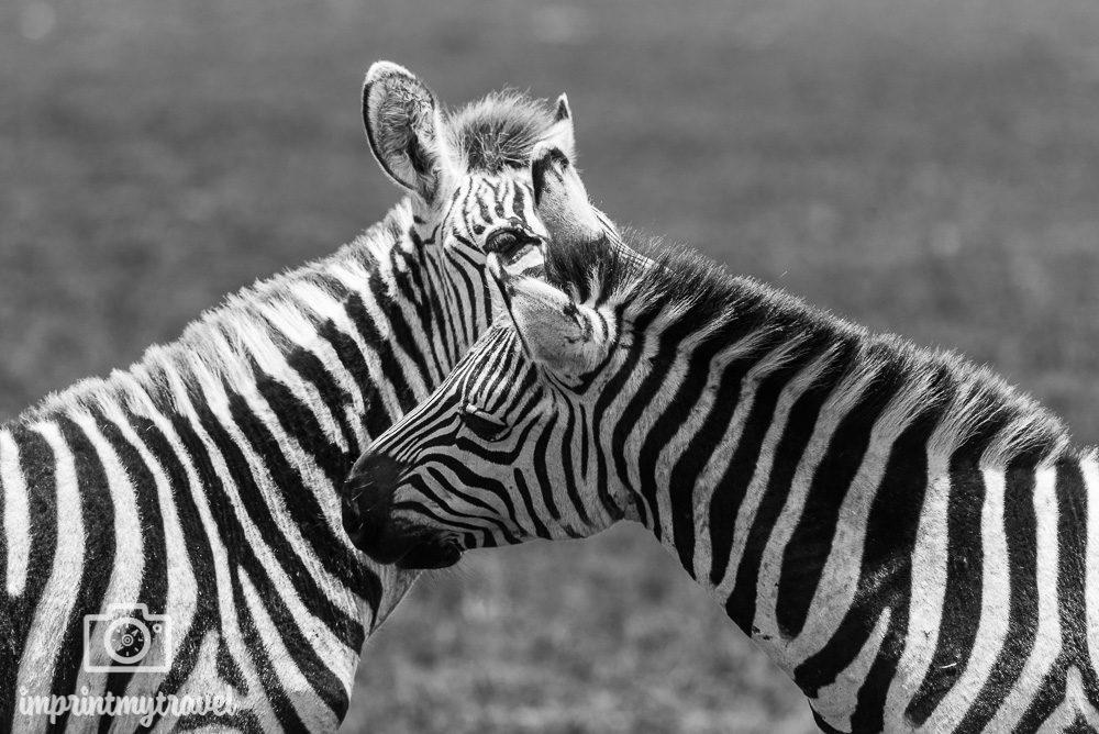 Safari Zebras Ngorongoro