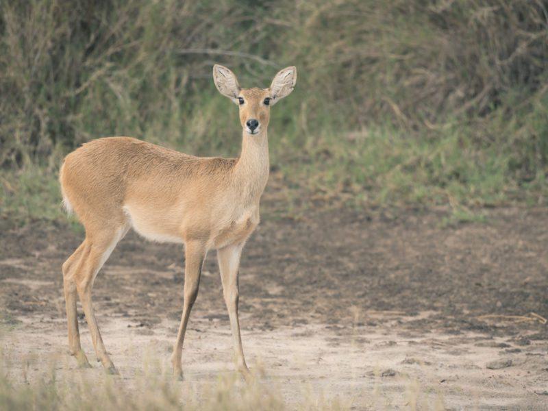 Wandbild Antilope Tansania