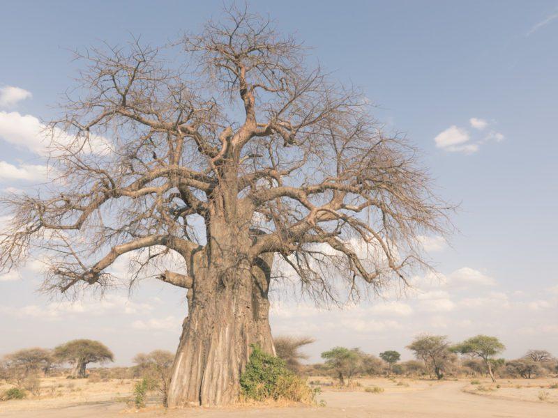 Wandbild Baobab Baum