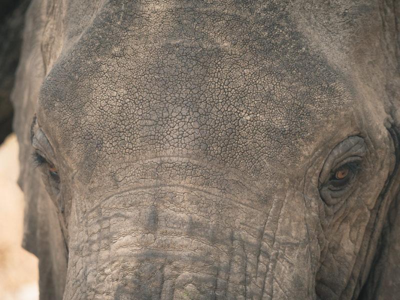 Wandbild Elefant Porträt