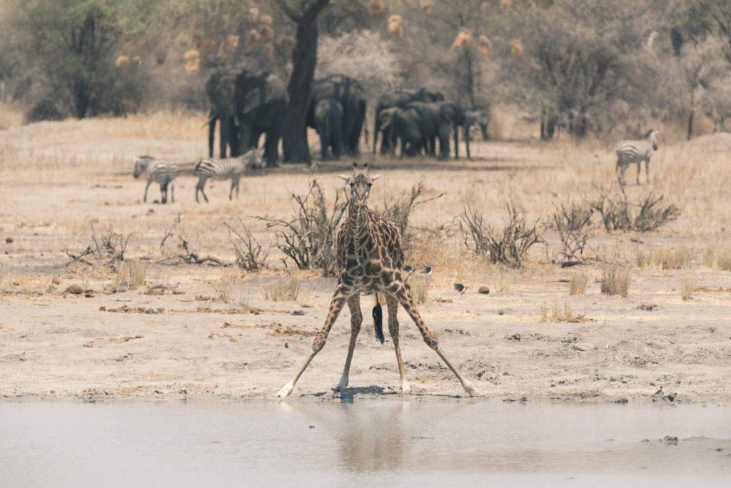 Wandbild Giraffe Wasserloch