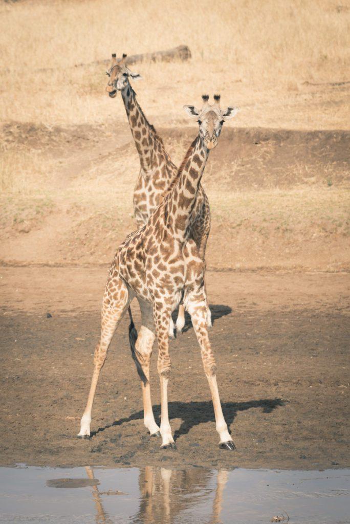 Wandbild Giraffen Wasserloch