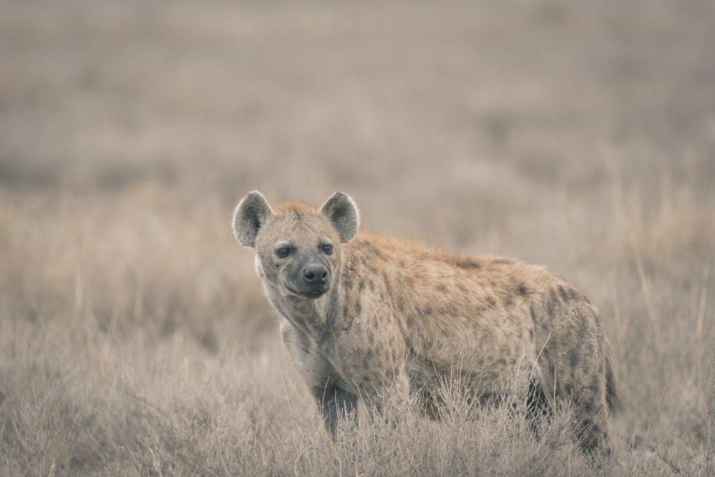 Wandbild Hyäne Tansania