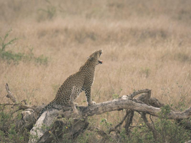 Wandbild Leopard Serengeti