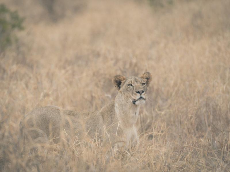 Wandbild Löwin Tansania
