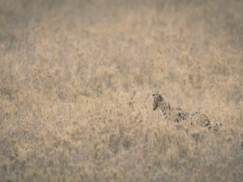 Wandbild Serval Tansania