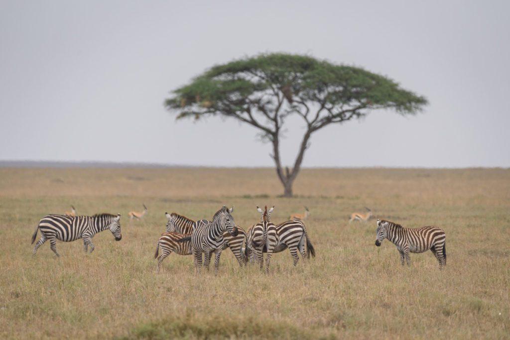 Wandbild Zebras Serengeti