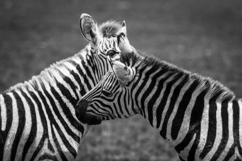 Wandbild Zebras schwarz-weiß