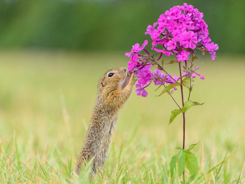 Wandbil Ziesel Blüte