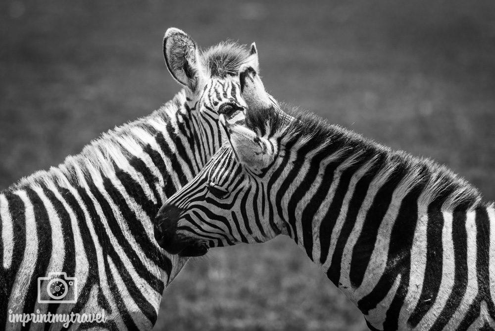 Zebras im Ngorongoro Krater Tansania