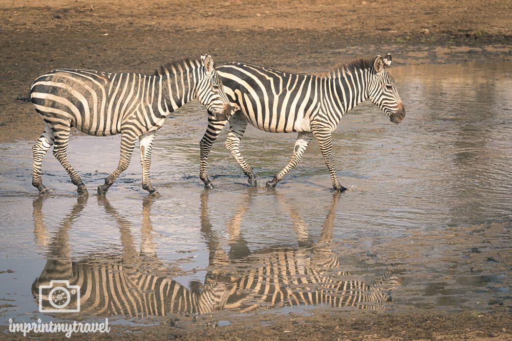 Zebras Tarangire Nationalpark, Tansania