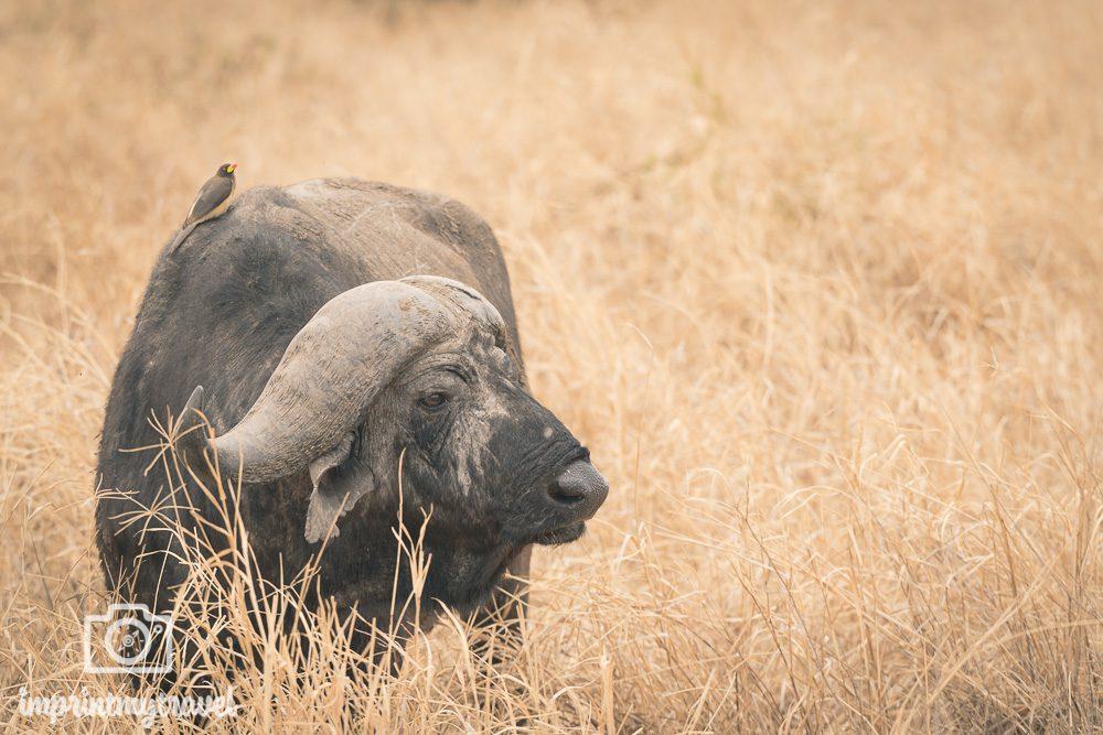 Büffel Tarangire Nationalpark Tansania