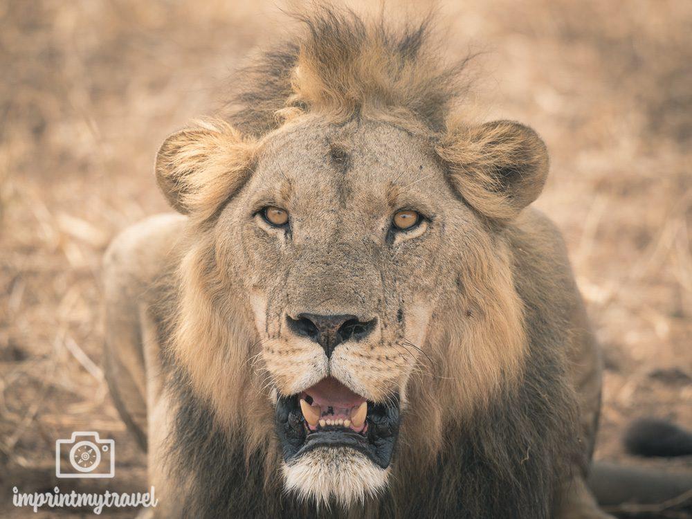 Löwe Tarangire Nationalpark Tansania