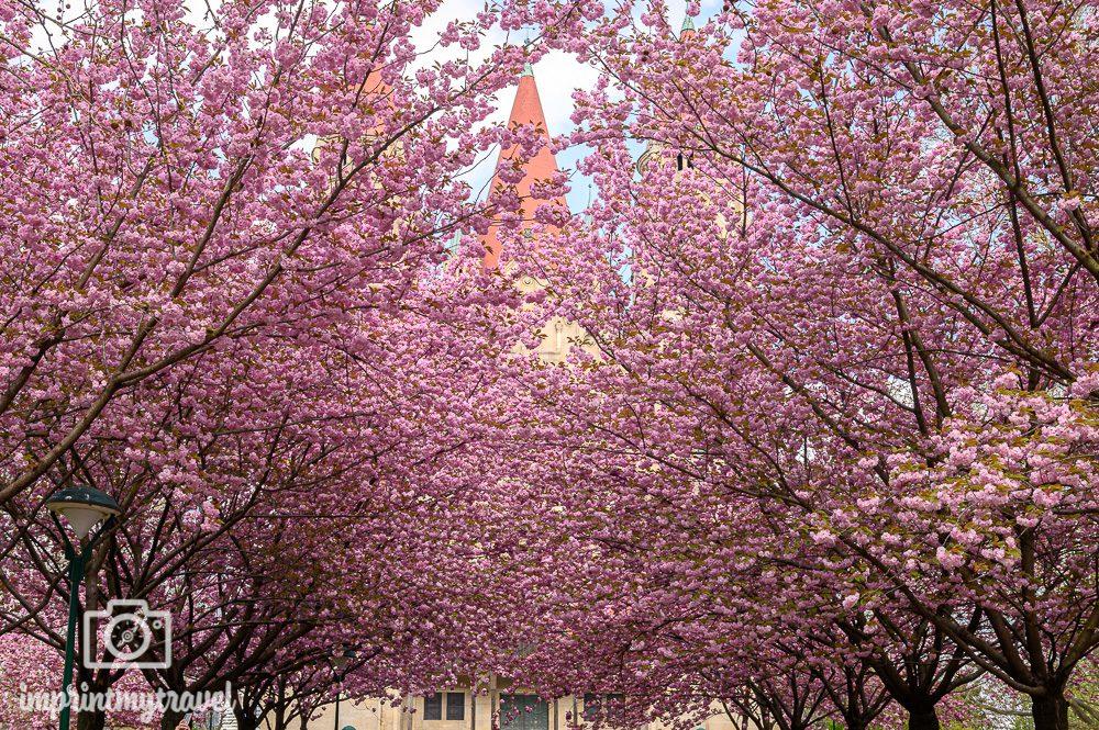 Kirschblüte Wien Franz von Assisi Kirche