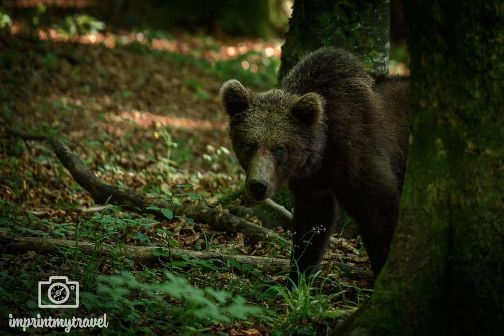 bären fotografieren