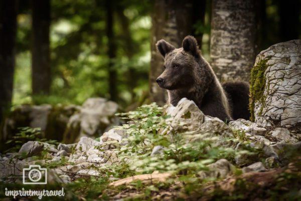 fotoreise wilde bären slowenien