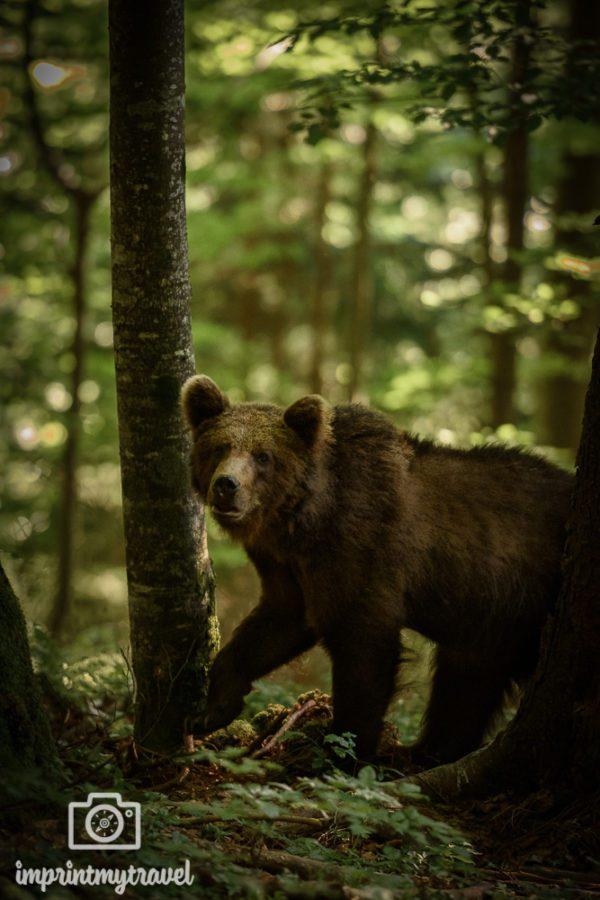 bären fotografie slowenien