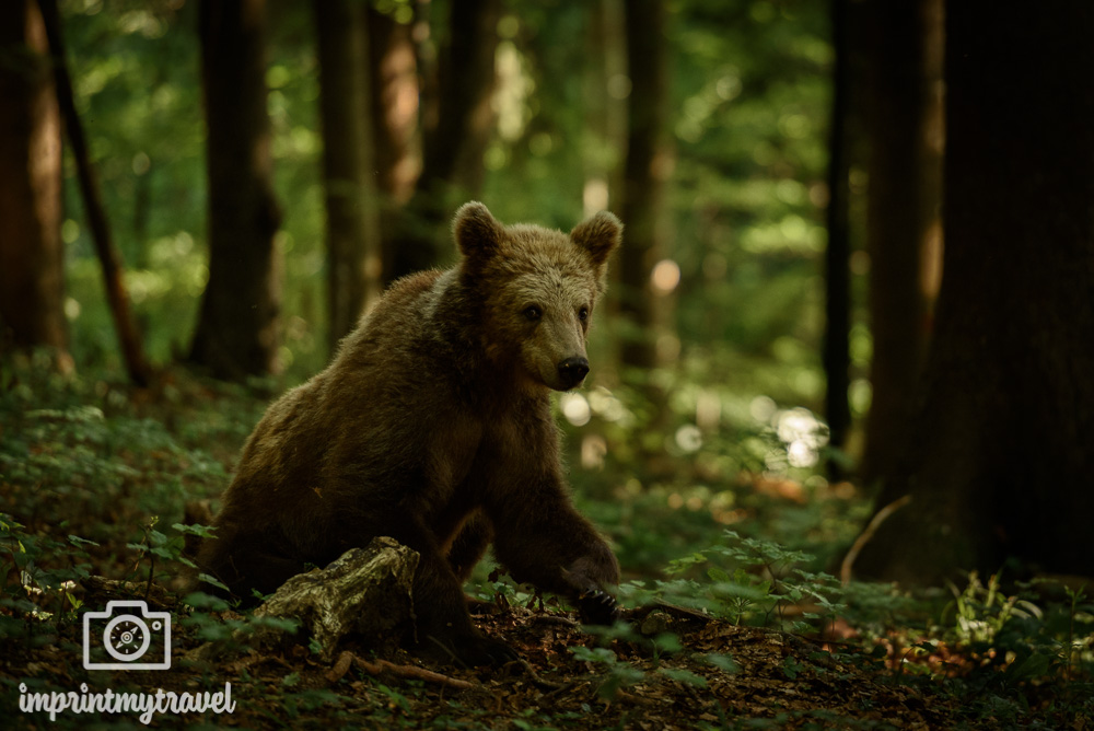 bären fotografieren slowenien