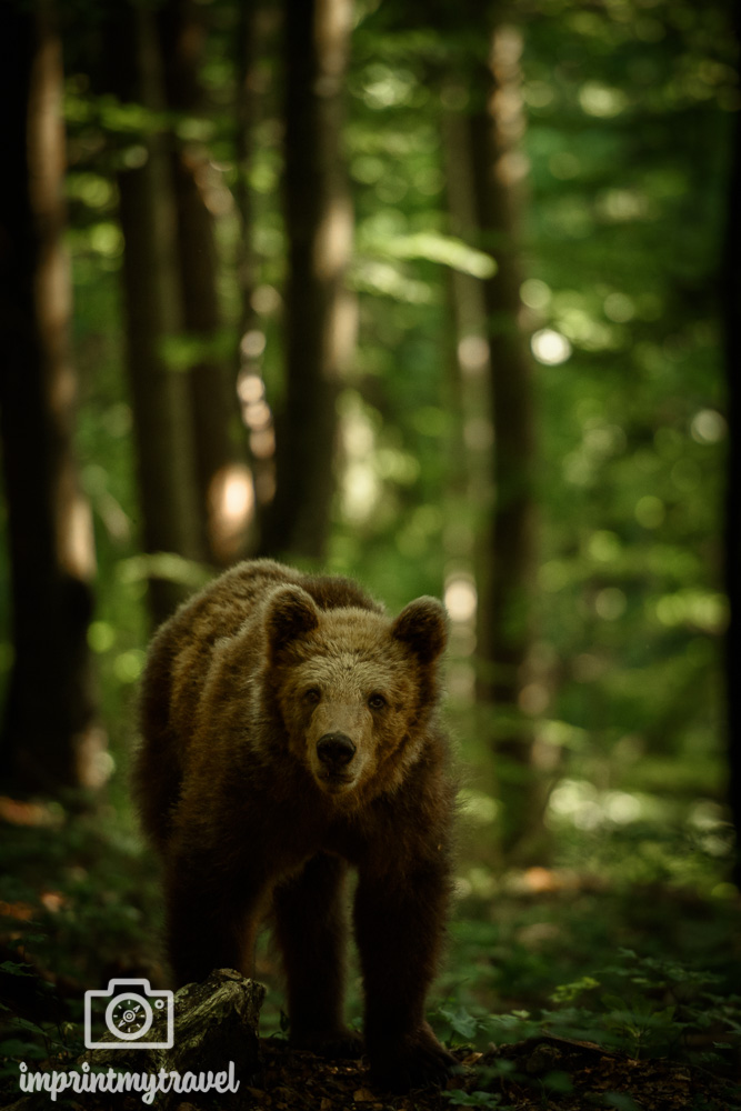 bären fotografieren in Slowenien