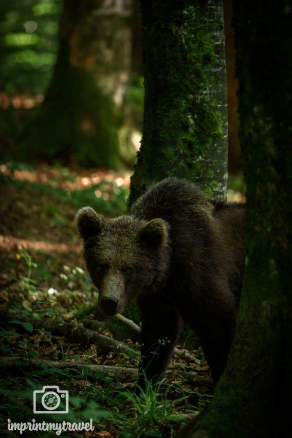 wilde bären slowenien