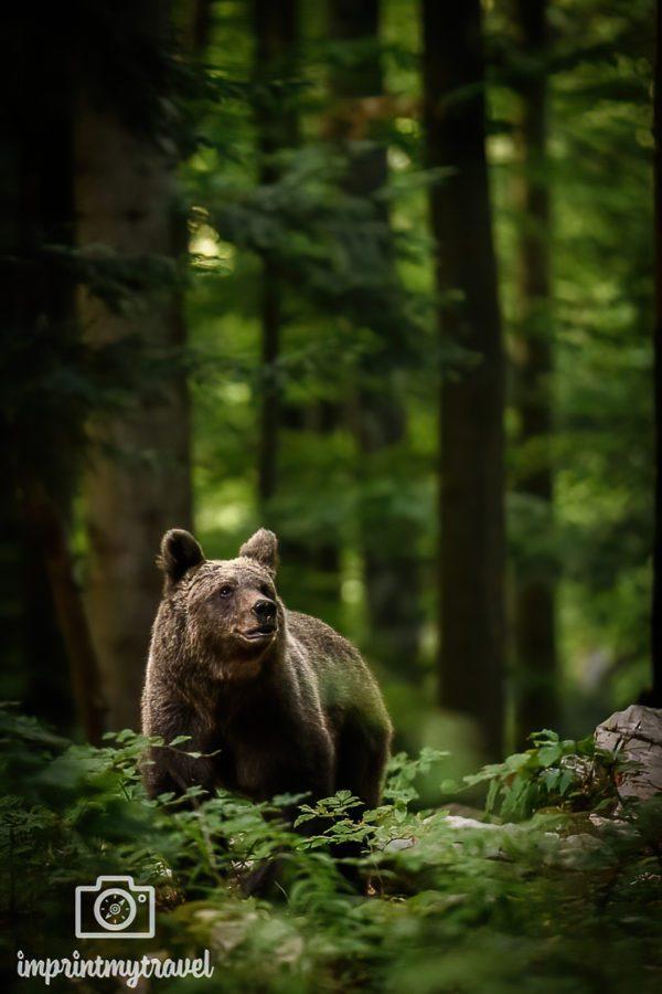 fotoworkshop wilde bären slowenien