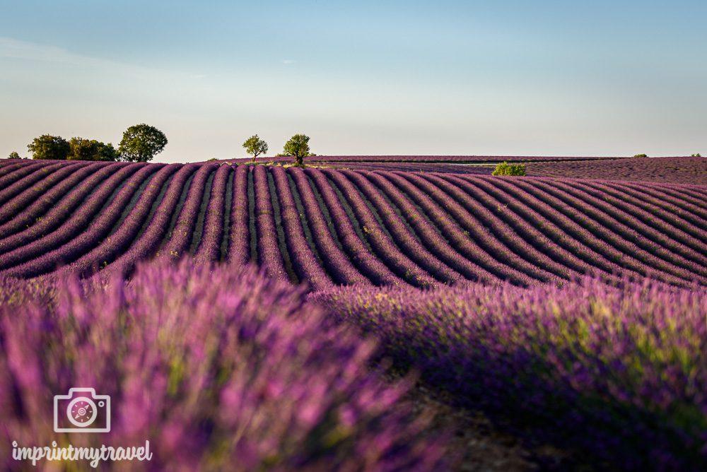 Lavendelfeld Valensole
