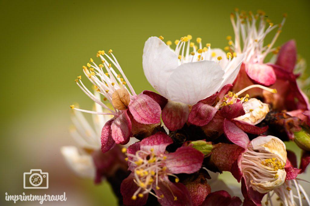 Marillenblüte fotografiert mit NiSi Nahlinse